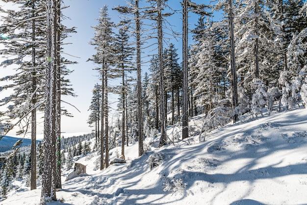 Drzewa pokryte śniegiem w lesie pod słońcem i błękitnym niebem