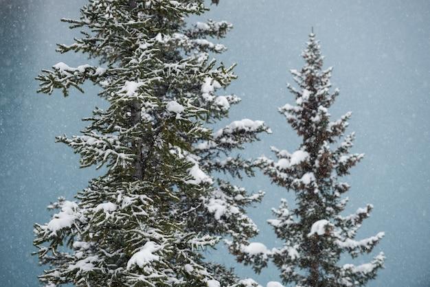 Drzewa pokryte śniegiem