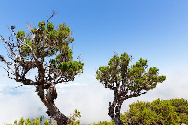 Drzewa ponad chmurami