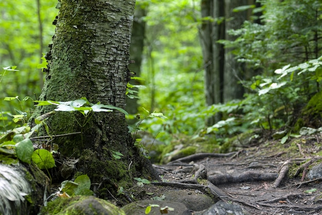 Drzewa porośnięte mchem i otoczone roślinnością w lesie