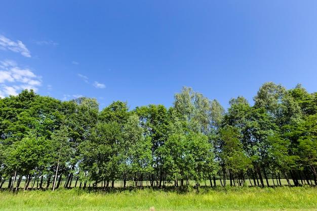 Drzewa rosnące na poboczu drogi z zielonymi liśćmi. wiosna krajobraz z roślinnością i niebieskim niebem