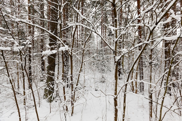 Drzewa rosnące w lesie i parku zimą. wszystko jest pokryte śniegiem. mroźny, pochmurny dzień