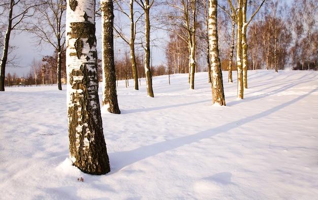 Drzewa rosnące w lesie zimą