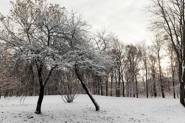 Drzewa rosnące w parku, pokryte śniegiem po ostatnich opadach śniegu. gałęzi roślin, wykonane z bliska na małej głębi ostrości. sezon zimowy. niebo w tle.