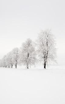 Drzewa rosnące w rzędzie w sezonie zimowym. zdjęcie zostało zrobione w terenie