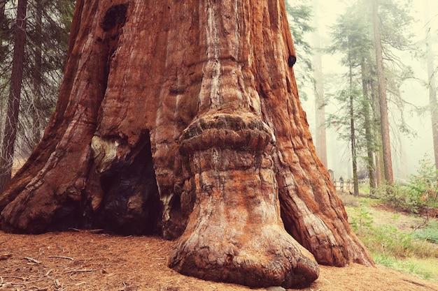 Drzewa sekwoi w górach sierra nevada, kalifornia
