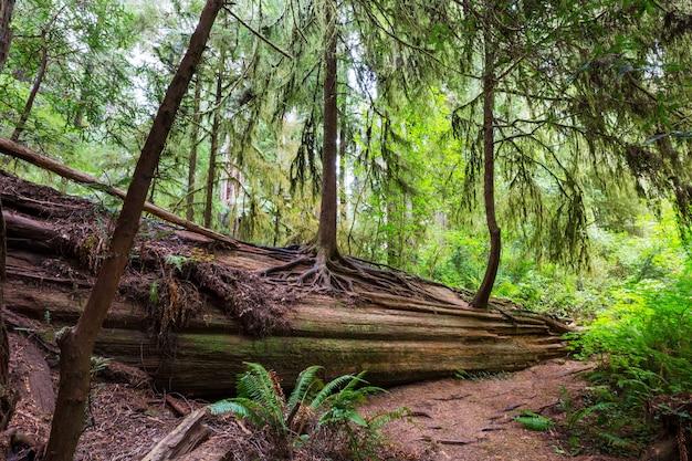 Drzewa sekwoi w lasach północnej kalifornii, usa
