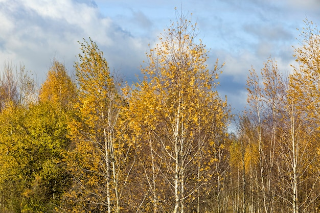 Drzewa w gaju z młodą brzozą