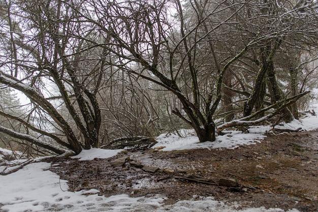 Drzewa w lesie pokryte śniegiem zimą