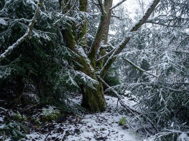 Drzewa w lesie pokrytym śniegiem w ciągu dnia w niemczech - idealne do koncepcji przyrodniczych