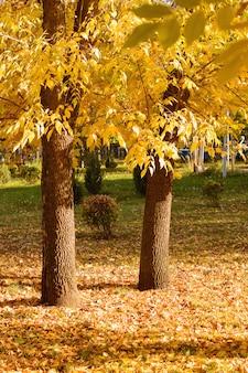 Drzewa w żółtych liściach przy zmierzchem