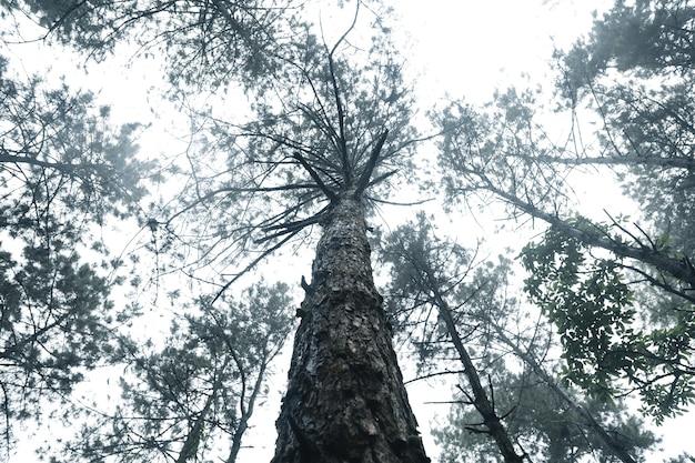 Drzewa we mgle, las krajobrazowy puszczy z sosnami