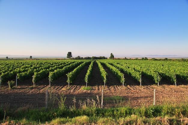 Drzewa winogron w wiosce zheravna, bułgaria