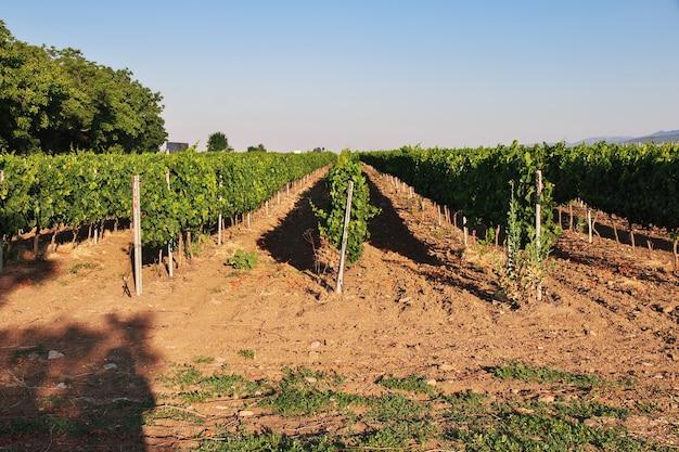 Drzewa winogron we wsi żerawna w bułgarii