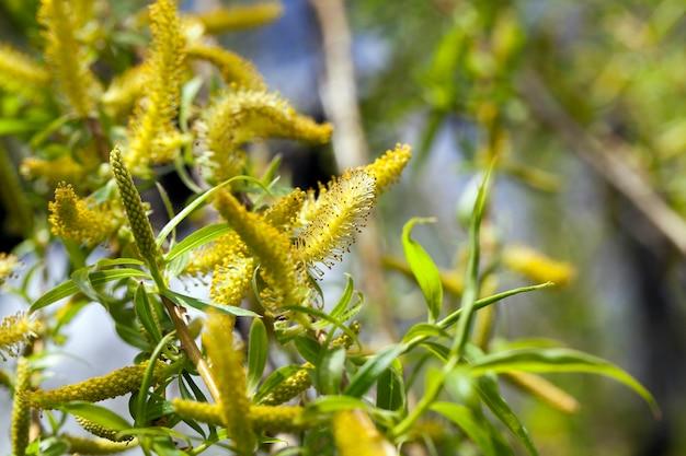 Drzewa wiosną, młode zielone liście na drzewach wiosną