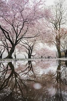 Drzewa wiśni w pobliżu rzeki