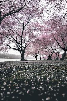 Drzewa wiśni