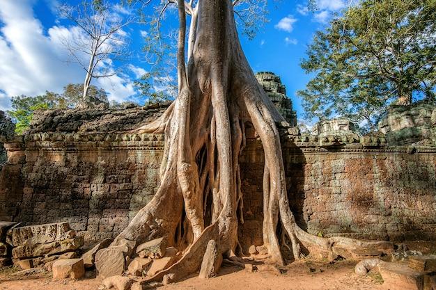 Drzewa wyrastające ze świątyni ta prohm, angkor wat w kambodży.