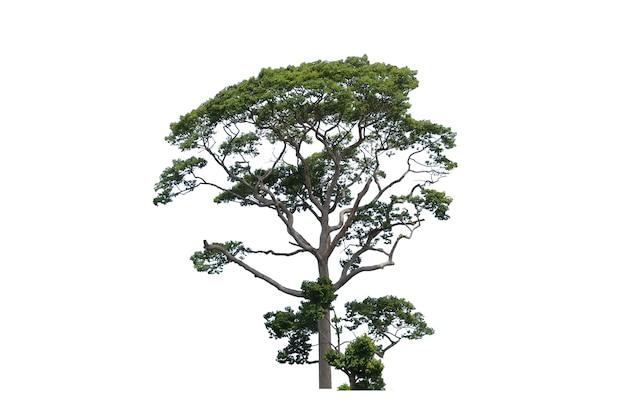 Drzewa yang lub gurjan lub dipterocarpus alatus w polu na białym tle