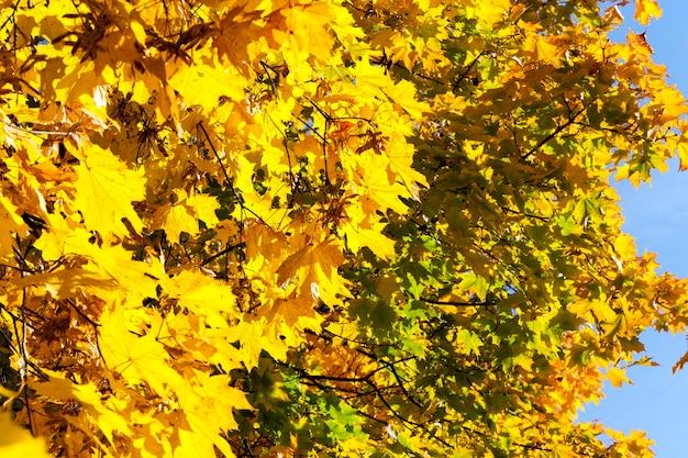 Drzewa z pożółkłymi liśćmi klonu w sezonie jesiennym.