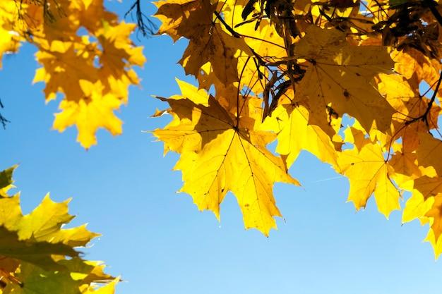 Drzewa z pożółkłymi liśćmi klonu w sezonie jesiennym