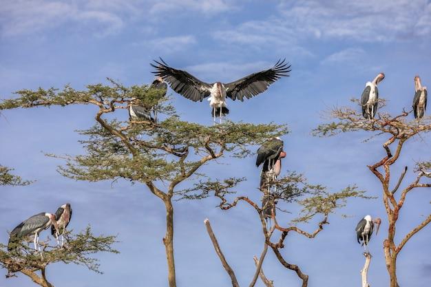 Drzewa z ptakami w afryce w tanzanii