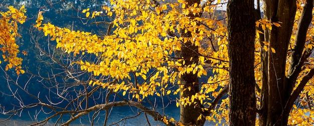 Drzewa z żółtymi jesiennymi liśćmi w pobliżu rzeki przed słońcem