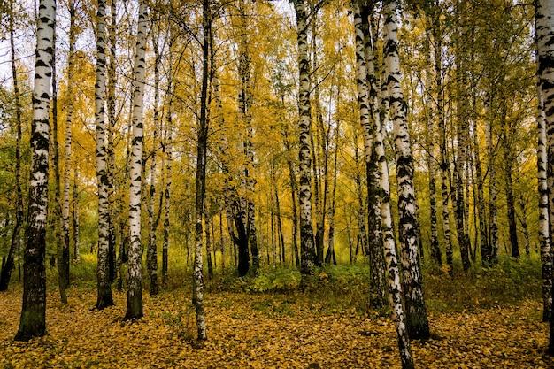 Drzewa z żółtymi liśćmi