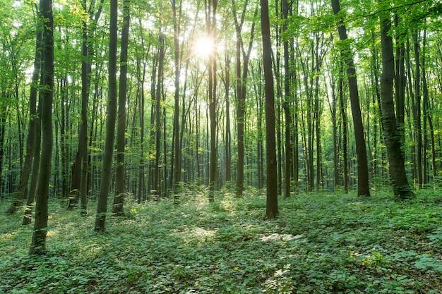 Drzewa zielonego lasu. natura zielone drewno światło słoneczne tła