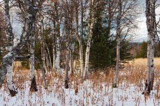 Drzewa zima, nagie
