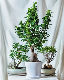 Drzewka bonsai, małe i duże
