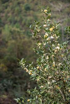 Drzewka herbaciane w ogrodzie herbacianym w pełnym rozkwicie