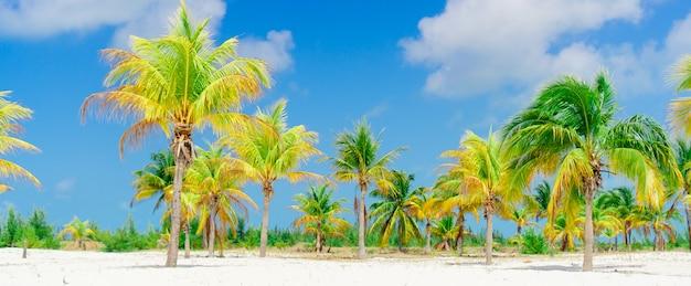 Drzewka palmowe na białej piasek plaży. playa sirena. cayo largo. kuba.