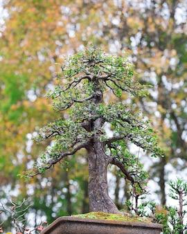 Drzewko bonsai na doniczce w parku.