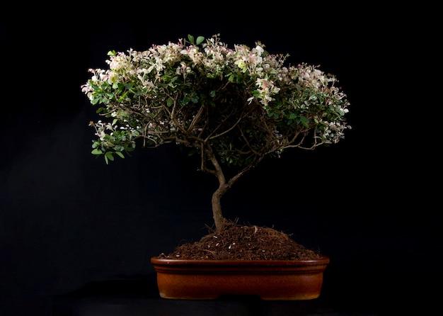 Drzewko bonsai na stole