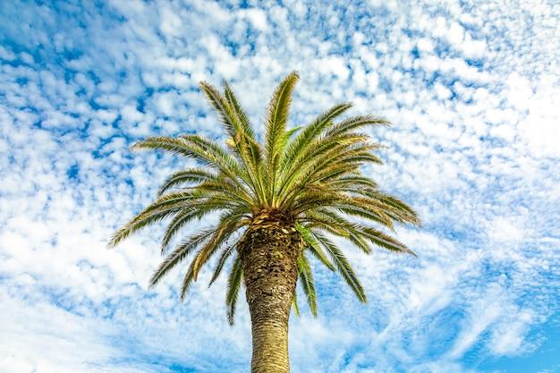 Drzewko palmowe przeciw niebieskiemu niebu z chmur pierzastych chmurami