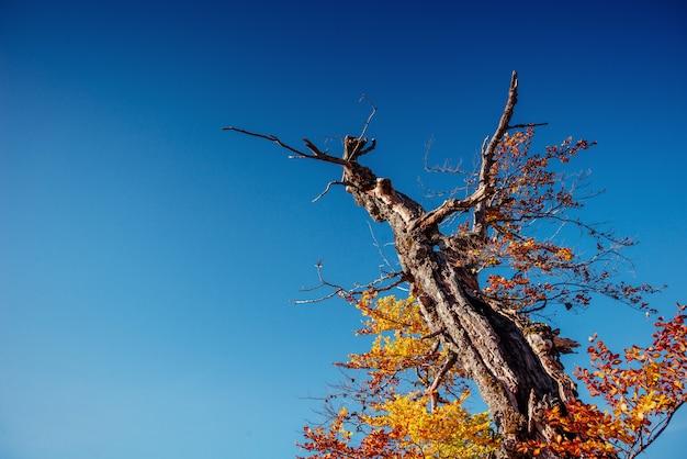 Drzewny baldachim w jesień bukowym lesie przeciw niebieskiemu niebu.