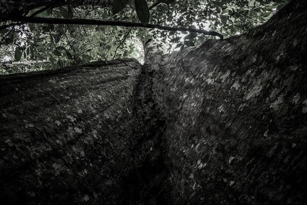Drzewo amazonas