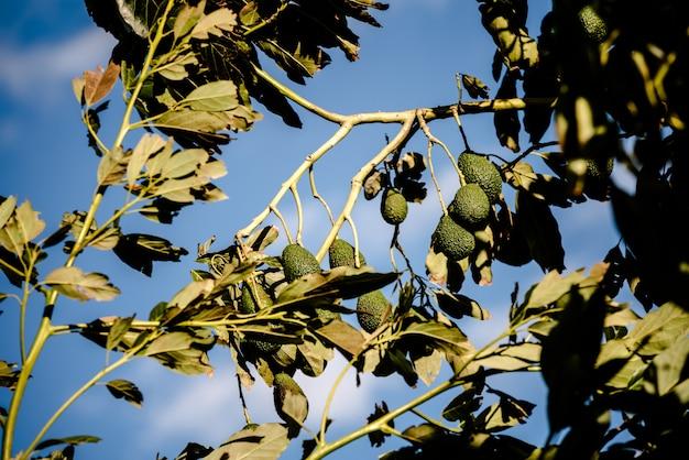 Drzewo awokado z wieloma owocami.