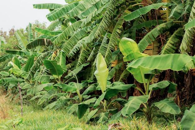 Drzewo bananowe w gospodarstwie w ciągu dnia.