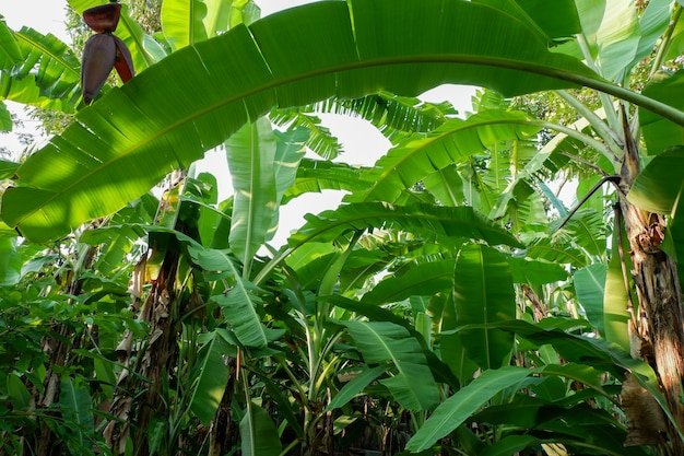 Drzewo bananowe w ogrodzie