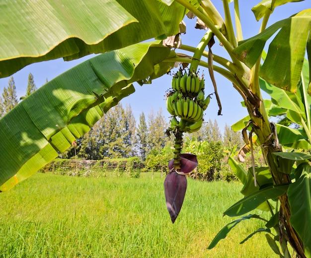 Drzewo bananowe z owocami i kwiatostanem