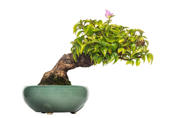 Drzewo bonsai bougainvillea, na białym tle