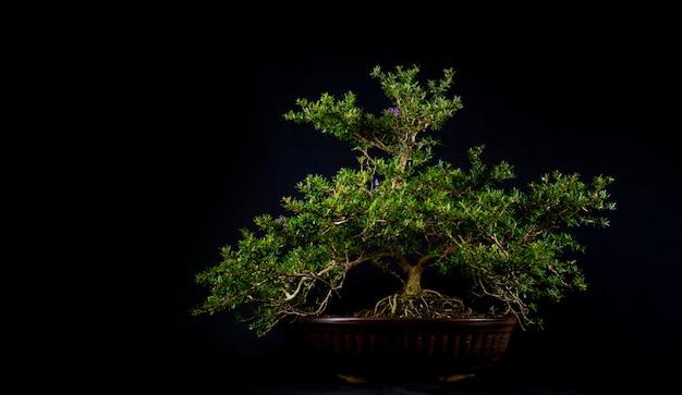 Drzewo bonsai
