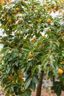 Drzewo brzoskwiniowe