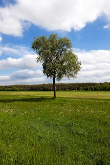 Drzewo brzozy rosnące na polu, na którym rosną rośliny