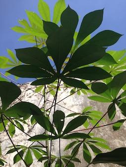 Drzewo casava
