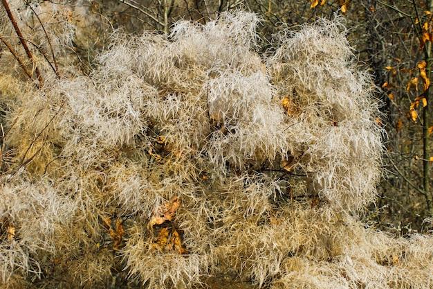 Drzewo dymne (cotinus coggygria scop.) jesienią