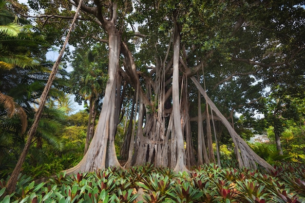 Drzewo dżungli. moreton bay fig (ficus macrophylla)