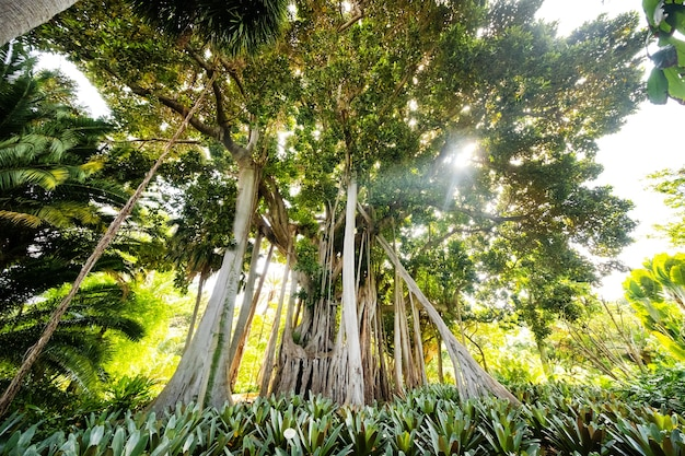 Drzewo ficus. gzasadź w parku w puerto de la cruz.
